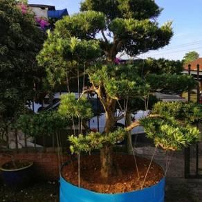 Podocapus Marcrophyllus(Golden Tree)