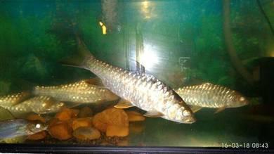 Ikan tengas