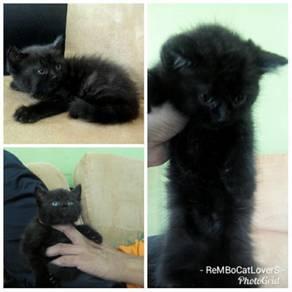 Anak Kucing Parsi