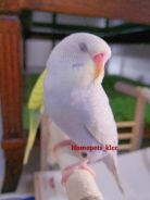 Bird for Sale Burung Budgie