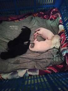 Kitten mother himalayan , father persian