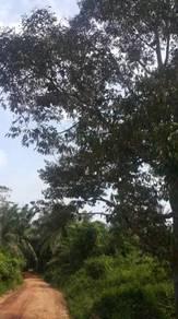Dusun durian dan duku di kg maju jaya