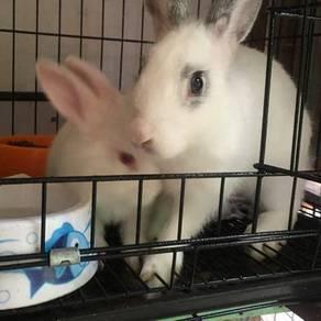 Rabbit biasa