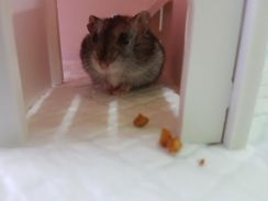 Winter white hamster ( 1 and a half month old)