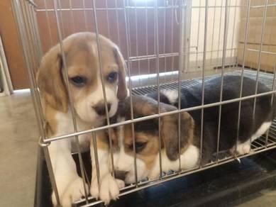 Beagle puppy with mka