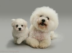 Bichon Frise - Pets for sale in Malaysia - Mudah my