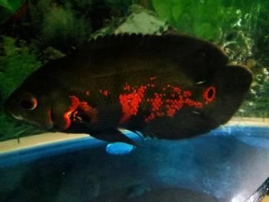 Ikan Oscar Merah