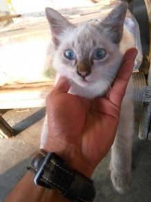 Kucing baka siam