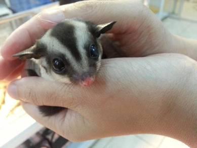 Joey sugar glider manja baby