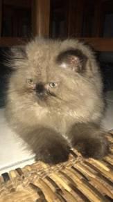 Mating Cat - Himalayan Persian