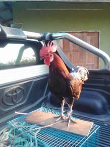 Ayam hutan kacukan