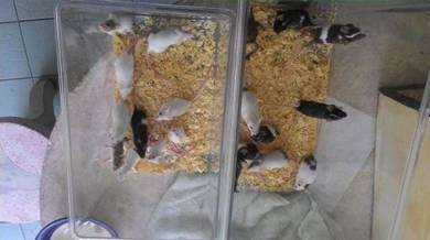 Tikus mickey mouse (area batu pahat   johor)