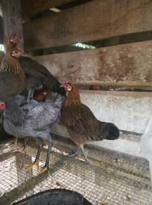5ekor ibu ayam hutan