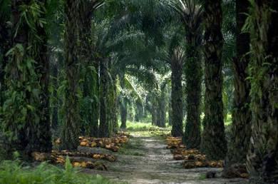 Tanah sawit , Kg separap, Sri Sulong , Batu Pahat