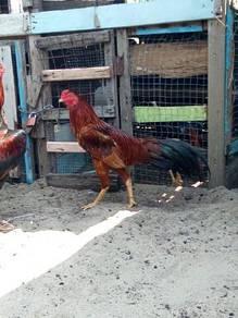 Ayam baik muda