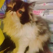 Pure Persian Kitten High Nose (Limited Colour)