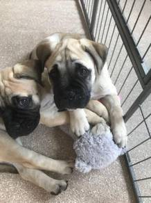Bullmastiff Puppies MKA