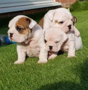 Extremely Loved English Bulldog Healthy MKA Pups