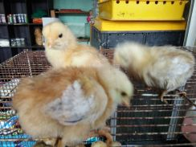 Anak Ayam Gergasi