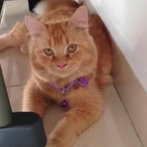 Kitten Persian (female)