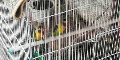 Burung lb lovebird wild green