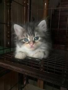 Baby Cat Persian