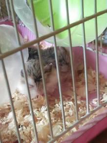 Hamster Jenis Robolvski umur 1 Bulan 4 hari