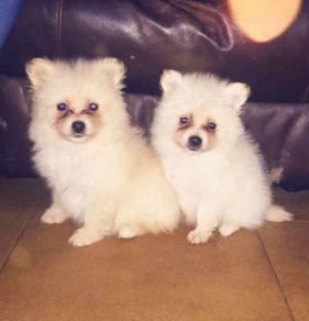 Beautiful Pomeranian Puppies (hubungi lagi)
