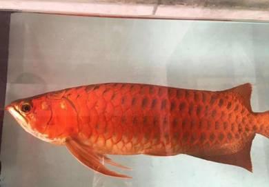 Arowana Blood Red High Quality 25 inch