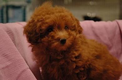 Super Cute Adorable Poodle Puppy