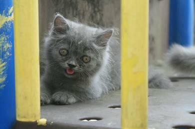 Dlh kitten (male)