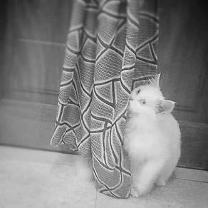 Kucing parsi untuk di jual