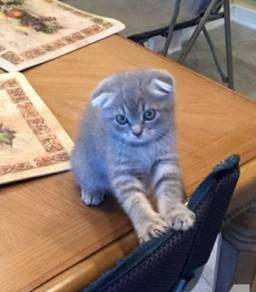 Female Scottish fold kitten