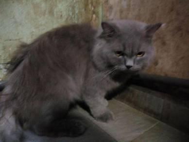Kucing mix persian 2 tahun