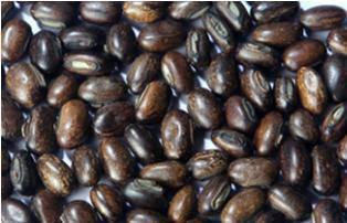 Mucuna Bracteata (Cover Crop Seed)