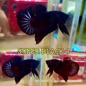 Ikan laga / betta hmpk super black