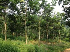 Agriculture Rubber Plantation Land For Sale