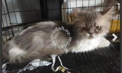 Mix persion cat