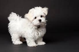 Pure Maltese Puppy MKA Certified