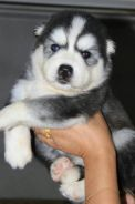 Wooly Husky Puppy PROMO JUNE 2018