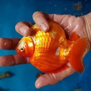Ikan ( gold fish )