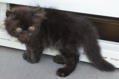 Anak kucing persian high nose