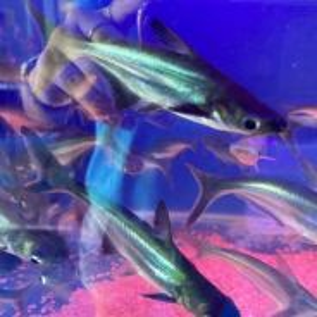 Patih fish 4-5inch