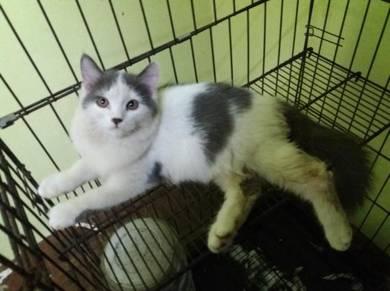 Siberian mix Pursian kitten