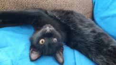 Softest kitten, lovable & playful. Neutered, Free