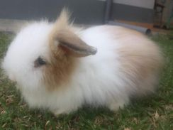 Angora rabbits pure