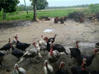 Ayam Belanda/Turki