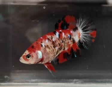 Female Koi HMPK Betta / Ikan Laga