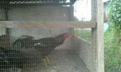Ayam Sabung Siam