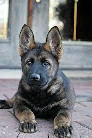 MKA High Quality Male German Shepherd Puppy